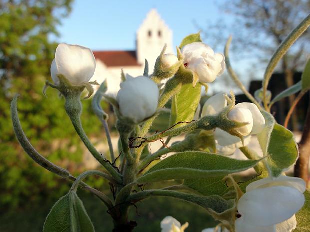 Ö Vemmerlöv och äppleblom