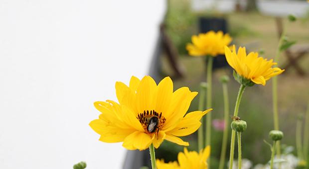 bönegården_gula_blommor