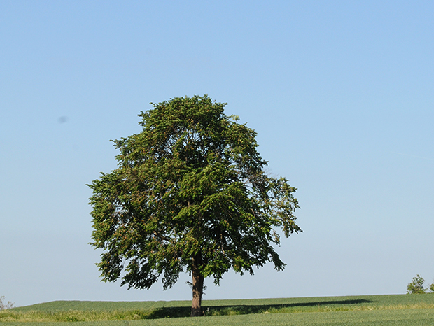 cykelpilgrimer_träd